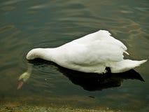 Cigno bianco Fotografie Stock