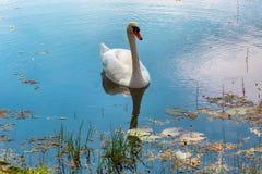 Cigno bianco Immagini Stock