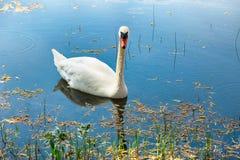 Cigno bianco Fotografia Stock