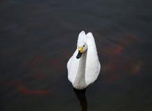 Cigno bianco Fotografia Stock Libera da Diritti