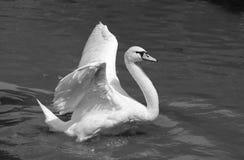 Cigno bianco Immagine Stock Libera da Diritti