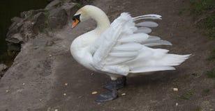 Cigno bianco Fotografie Stock Libere da Diritti