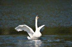 Cigno bianco che agita le sue ali fotografia stock libera da diritti