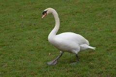 Cigno bianco che cammina sull'erba verde Fotografie Stock