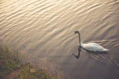 Cigno bianco che galleggia sul lago Fotografie Stock Libere da Diritti