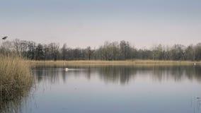 Cigno bianco che galleggia sulla superficie dello stagno Reed ed erbe in priorità alta archivi video