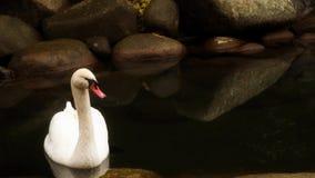 Cigno bianco che galleggia in uno stagno archivi video