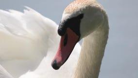 Cigno bianco che guarda intorno alla fine sul ritratto stock footage