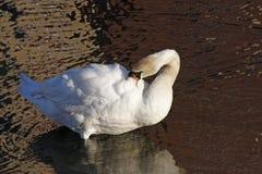 Cigno bianco che preening Immagini Stock Libere da Diritti