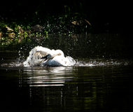 Cigno bianco che prende un bagno Fotografie Stock