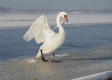 Cigno bianco che spande le ali, su ghiaccio nell'inverno Fotografia Stock