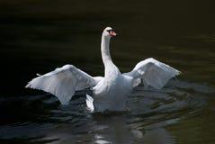 Cigno bianco con le ali di apertura Fotografia Stock