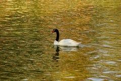 Cigno in bianco e nero che galleggia sull'acqua del lago fotografia stock libera da diritti