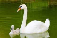 Cigno bianco ed il suo bambino Fotografia Stock Libera da Diritti