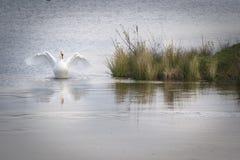 Cigno bianco elegante che spande le sue ali con la riflessione adorabile sull'acqua ghiacciata Fotografie Stock