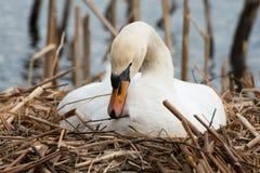 Cigno bianco femminile nel suo nido, crescente Immagine Stock Libera da Diritti
