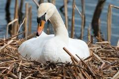 Cigno bianco femminile nel suo nido, crescente Fotografia Stock