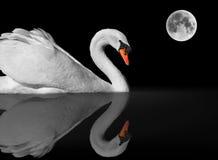 Cigno bianco grazioso e riflessione sotto la luna piena immagini stock