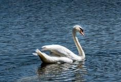 Cigno bianco in lago verde Immagine Stock
