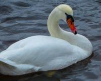 Cigno bianco magnifico contro un fondo dell'acqua di fiume blu fotografie stock libere da diritti