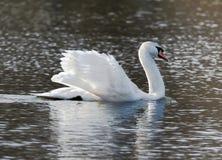Cigno bianco nel lago immagine stock