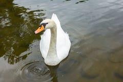 Cigno bianco nel lago Luci di mattina Immagini Stock Libere da Diritti