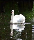 Cigno bianco regale Fotografia Stock