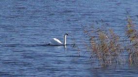 Cigno bianco solo sul lago video d archivio