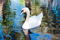 Cigno bianco su acqua Fotografie Stock Libere da Diritti