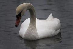Cigno bianco su acqua grigia, giorno di inverno freddo Fotografia Stock Libera da Diritti