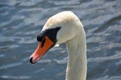 Cigno bianco su un lago Fotografia Stock