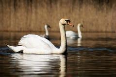 Cigno bianco sul lago Immagini Stock Libere da Diritti