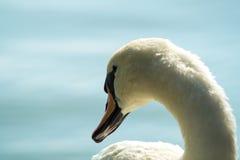 Cigno bianco sul lago, testa del cigno Fotografie Stock Libere da Diritti