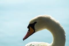 Cigno bianco sul lago, testa del cigno Immagini Stock