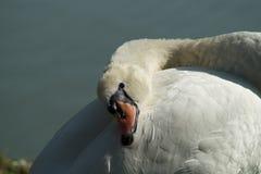 Cigno bianco sul lago, testa del cigno Immagini Stock Libere da Diritti