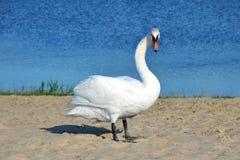 Cigno bianco sulla sabbia fotografie stock libere da diritti