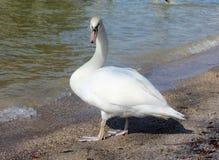 Cigno bianco sulla spiaggia del lago Immagine Stock
