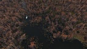 Cigno bianco sullo stagno Un cigno solo rubacchia tramite le spine Il cigno sta galleggiando sul lago video d archivio