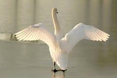 Cigno che allunga fuori le sue ali al tramonto Fotografia Stock Libera da Diritti