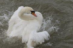 Cigno che bagna in un fiume Immagine Stock Libera da Diritti