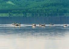 Cigno che galleggia sull'acqua Fotografia Stock Libera da Diritti