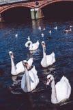 Cigno che insegue turista sul lago Alster vicino municipio della città Amburgo, Germania Fotografia Stock Libera da Diritti