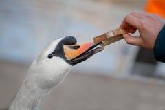 Cigno che mangia pane dalle mani immagine stock