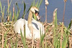Cigno che si siede sulle uova aspettanti del nido per covare Fotografia Stock