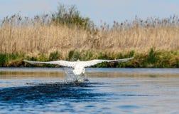 Cigno che sorvola il parco nazionale del fiume di Narew, Polonia Immagini Stock