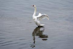 Cigno che spande e che agita le sue ali con la riflessione in acqua d'increspatura immagine stock libera da diritti