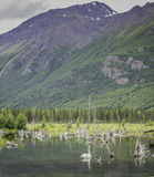 Cigno d'Alasca di estate Immagine Stock Libera da Diritti