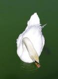 Cigno dell'uccello Fotografia Stock Libera da Diritti