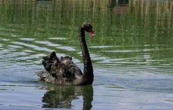 Cigno della pannocchia del lago Fotografie Stock Libere da Diritti