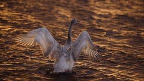 Cigno di Bewick che allunga al tramonto Fotografia Stock Libera da Diritti